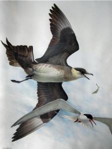 James Fenwick Lansdowne, Parasitic Jaeger, Common Tern